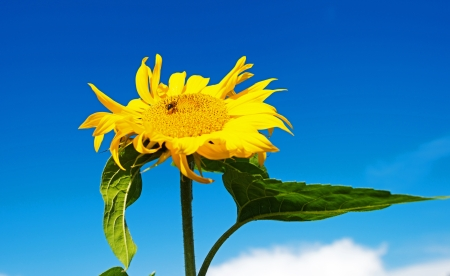 Sunflower in a blue sky photo