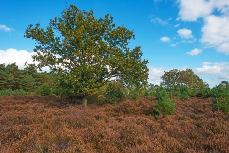 Heath and pines in autumn photo