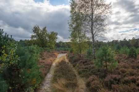Path through heath and pines photo