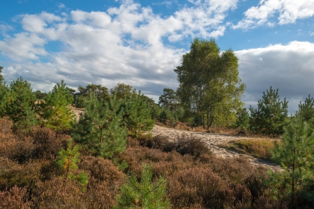 Heath landscape in a pinewood photo