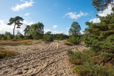 veluwe: Sand and pines at fall