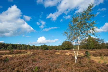 Heath landscape in a pinewood Stock Photo - 15630730