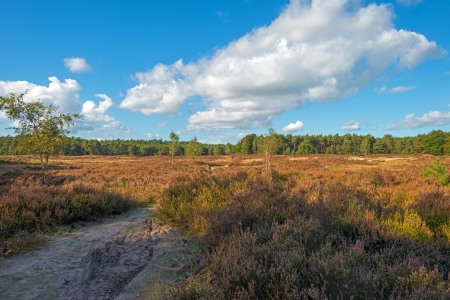 Heath landscape in a pinewood photo