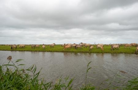 Konik horses in nature in autumn photo
