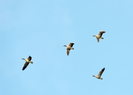 Free pictures of geese flying in formation