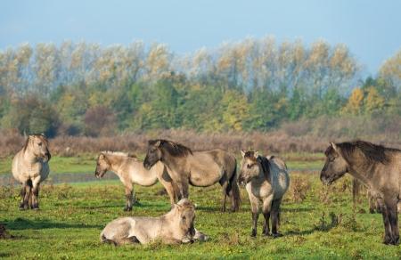 lelystad: Konik horses in nature in autumn Stock Photo
