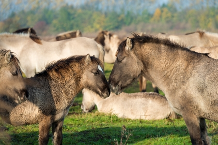 Konik horses in nature in autumn photo