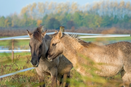 Konik horses in nature in autumn Stock Photo - 16298636