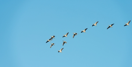 Geese flying in formation at fall photo