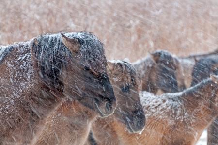 Konik horses in the snow in winter Stock Photo