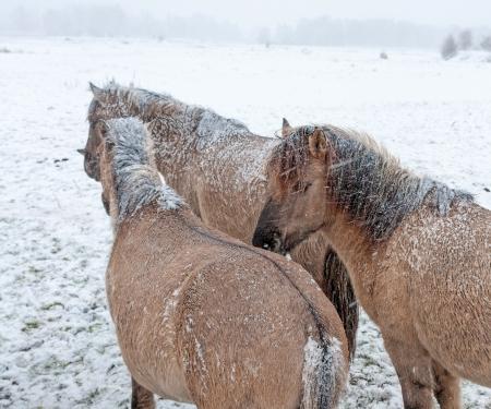lelystad: Konik horses in the snow in winter Stock Photo