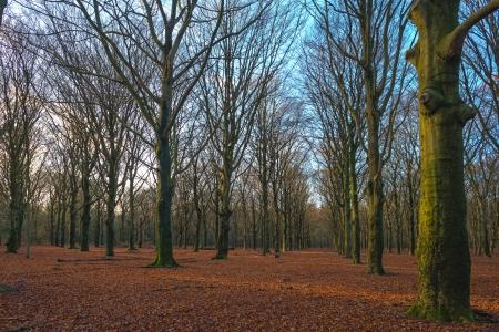 beechwood: Beech forest in winter