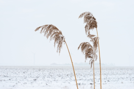 Frozen reed in a snowy field in winter Stock Photo - 17376506