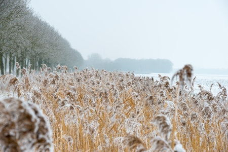 Frozen reed along a canal in winter Stock Photo - 17376523