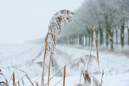 Trees and reed on a snowy field Stock Photo - 17376529