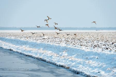 Ducks flying over a snowy countryside Stock Photo - 17391559