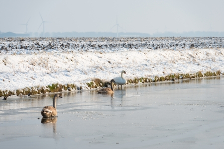 ice dam: Swans walking over a frozen canal in winter