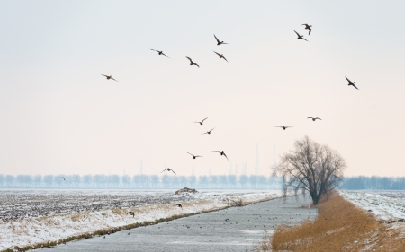 Ducks flying over a snowy countryside photo