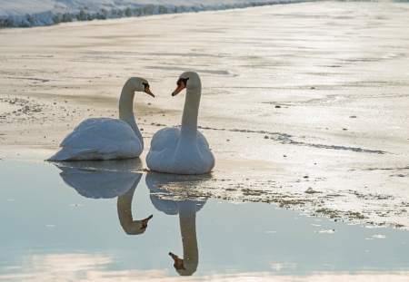 Two swans on ice in winter in sunlight photo