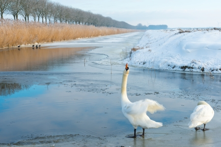 Two swans in a frozen canal in winter photo