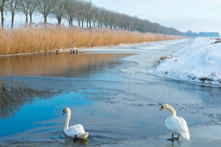 ice dam: Two swans in a frozen canal in winter Stock Photo