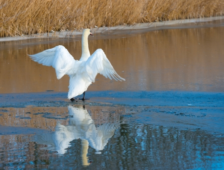 ice dam: Swan flapping its wings on ice