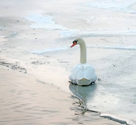 Swan in a snowy frozen canal at dawn photo