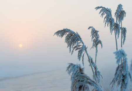 Frozen snowy reed in winter at dawn photo