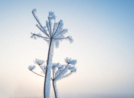 Plant with hoarfrost at dawn Stock Photo