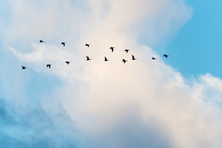 migrating animal: Geese flying in formation in winter