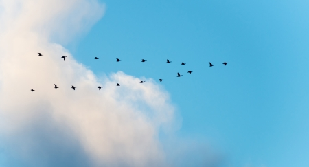 Geese flying in formation in winter photo