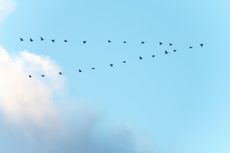 Flock of birds flying into winter photo