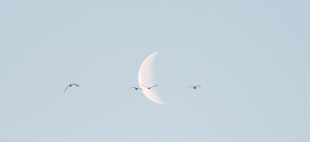 Geese flying into the moon in winter Stock Photo