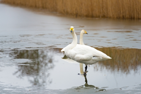Whooper swan standing in a frozen lake in winter photo