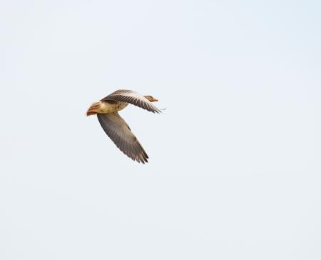 Ganso volando en invierno Foto de archivo - 18642320