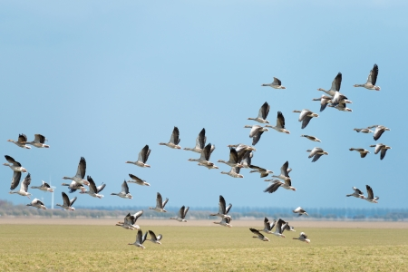 Flock of geese flying in sunlight photo