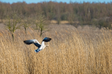 Goose flying over nature photo