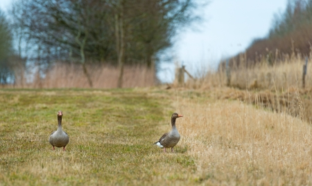 Two geese walking through nature in spring photo