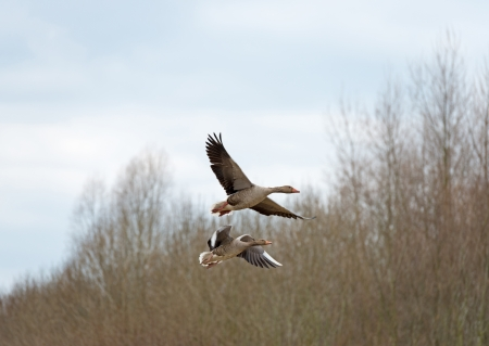 greylag: Two geese flying over nature in spring