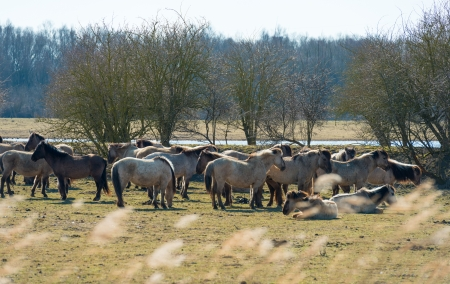 Konik horses in nature in spring photo