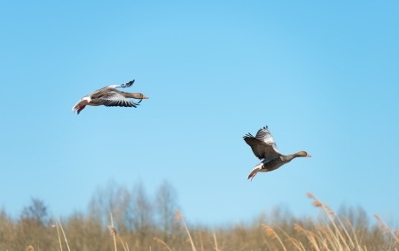 Geese flying over nature in spring photo