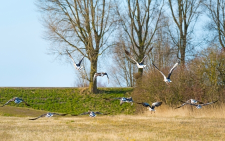 greylag: Geese flying over nature in spring