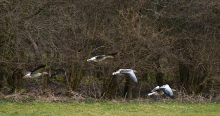 Geese flying over nature in spring Stock Photo - 19048749