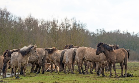 Herd of Konik horses in nature in spring photo