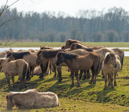 Herd of Konik horses in nature in spring Stock Photo - 19048862