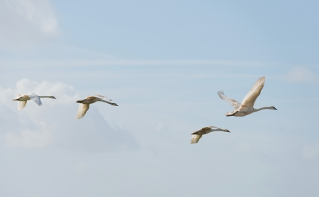 Swans flying in the sky in spring photo