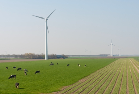Milk cows grazing in spring