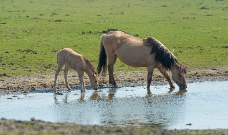 Konik foal and mother drinking from a lake photo