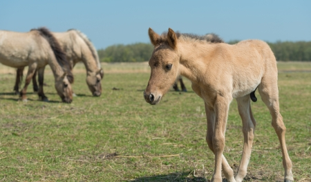 Konik foal walking in a field of grass Stock Photo - 19409002