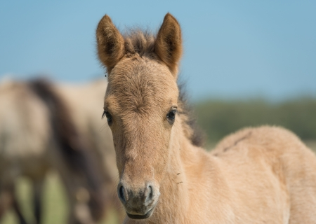 Konik foal in spring looking at you photo
